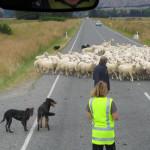 カーチェイス90分、羊の群れで逃走車つかまる