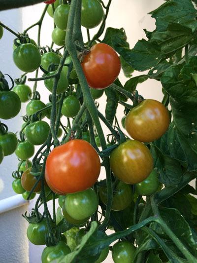 プチトマト 栽培