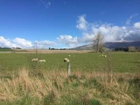 羊 ニュージーランド