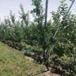 ニュージーランドのリンゴ農園見学
