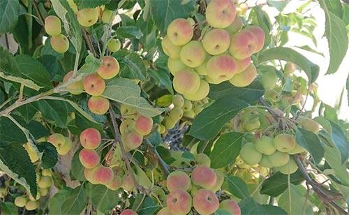 りんご ニュージーランド