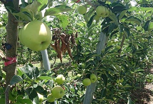 ニュージーランドでリンゴ栽培