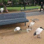 シドニーのトキは害鳥?オーストラリア街中の野鳥
