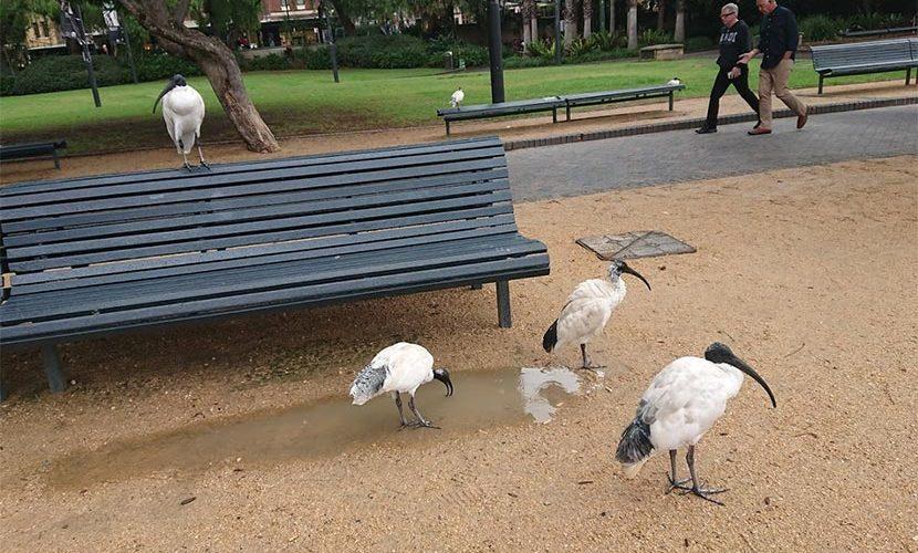 トキ オーストラリア