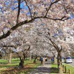 桜満開のニュージーランド、どこで花見する?