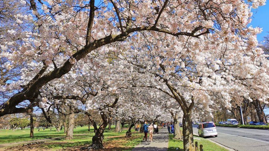 ニュージーランドで桜